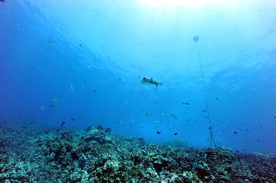 giantporcupinefish bodyglove6 090517tues