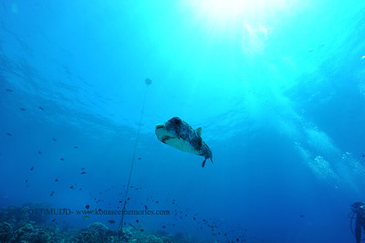 giantporcupinefish bodyglove2 090517tues