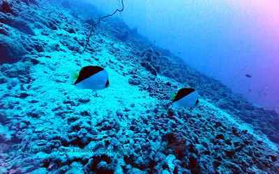 tinkersbutterflyfish oldairport 090517tues