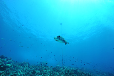 giantporcupinefish bodyglove5 090517tues