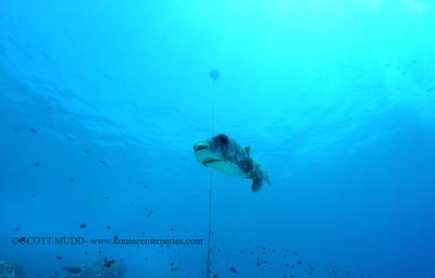 giantporcupinefish bodyglove4 090517tues