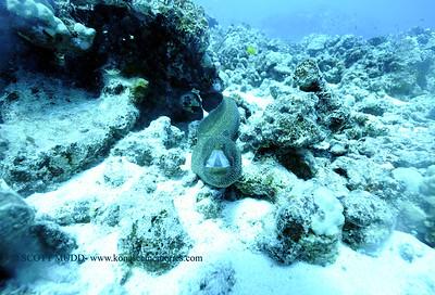 whitemouthmoray kaiwipoint2 011118thurs