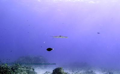cornetfish turtleheaven 010418thurs