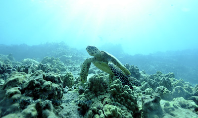 hawksbillturtle turtleheaven 010318wed