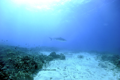 tiger shark laverne turtleheaven4 010418thurs