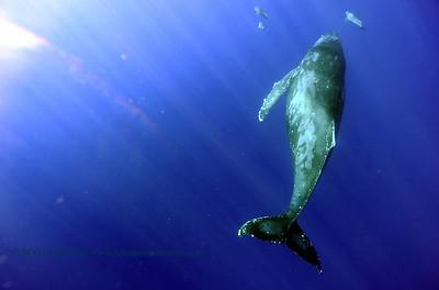 humpbackwhale dolphins umikatana3 020118thurs