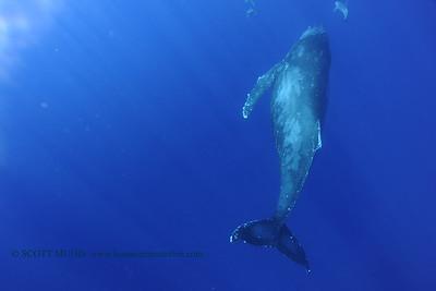 humpbackwhale dolphins umikatana4 020118thurs