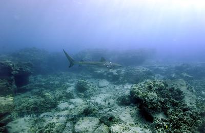 tiger shark turtleheaven4 022818wed