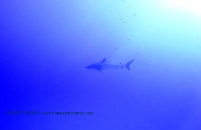 tiger shark naiabay12 020118thurs