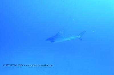tiger shark naiabay8 020118thurs