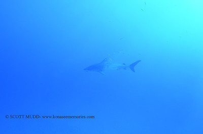 tiger shark naiabay11 020118thurs