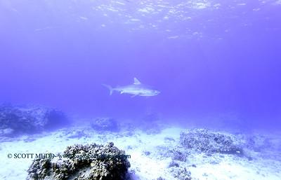 tiger shark naiabay5 020118thurs