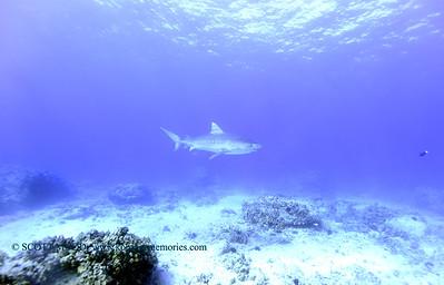 tiger shark naiabay4 020118thurs