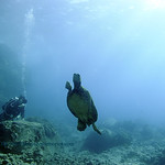 diver seaturtle turtleheaven 020618tues