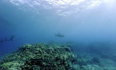 tiger shark turtleheaven10 022818wed