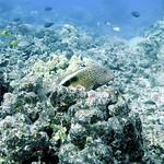 blacksidehawkfish kaiwipoint 020718wed