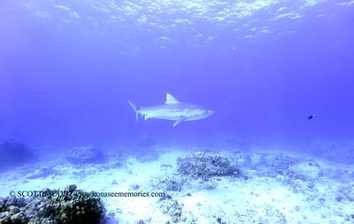 tiger shark naiabay3 020118thurs