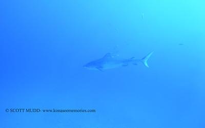 tiger shark naiabay9 020118thurs