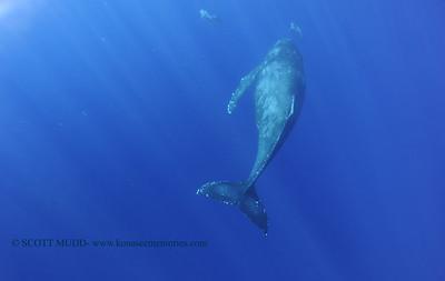 humpbackwhale dolphins umikatana 020118thurs