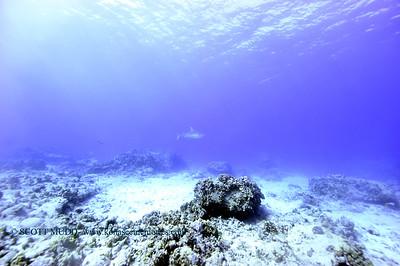tiger shark naiabay6 020118thurs
