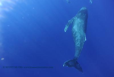 humpbackwhale dolphins umikatana5 020118thurs