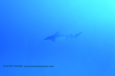 tiger shark naiabay10 020118thurs