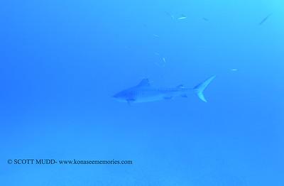 tiger shark naiabay7 020118thurs