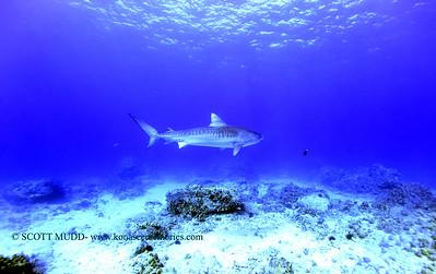 tiger shark naiabay 020118thurs