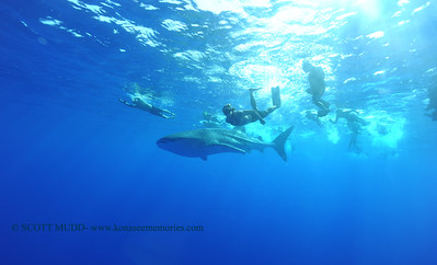 whale shark (ジンベエザメ)