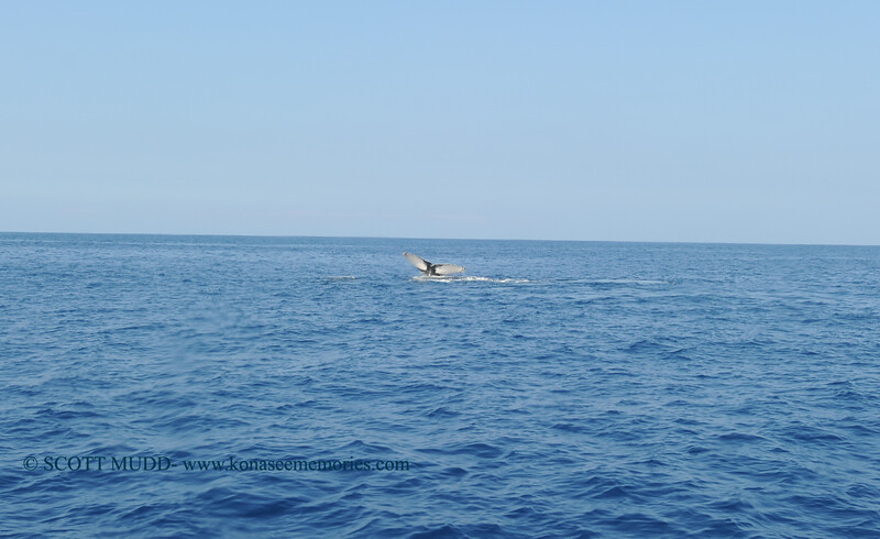 humpback whale tail (ザトウクジラのしっぽ)
