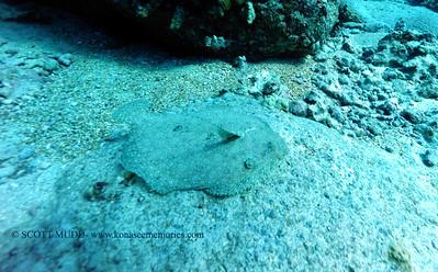 flounder (ヒラメ)