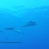 spinner dolphins (ハシナガイルカ達)