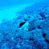 tinkers butterflyfish (チンカーズチョウチョウウオ)
