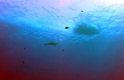 spinner dolphin (ハシナガイルカ)