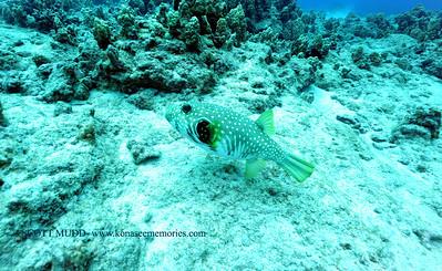 spotted puffer (サザナミフグ)