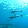 bottlenose dolphins (バンドイルカ)