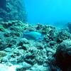 palenose parrotfish (アオムブダイ)