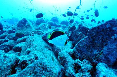 tinkers butterflyfish (チィンカーズチョウチョウウオ)