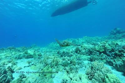 greensea turtle(アオウミガメ)