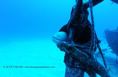 yellowmargin moray eel (ゴマウツボ)