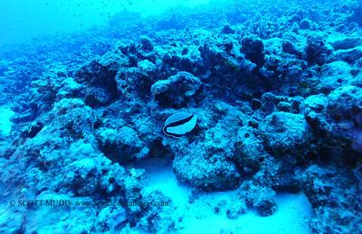 bandit angelfish (バンヂィッとエンジェル)