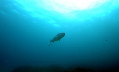 milkfish (サバヒ)