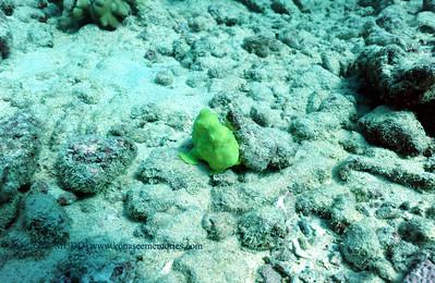 frogfish (カエルアンコ)
