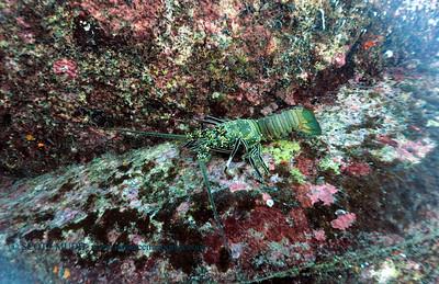 lobster (ロブスター)