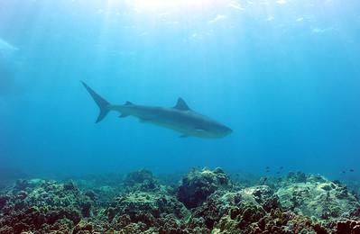 tiger shark (イタチザメ)