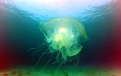 bell jellyfish (鐘クラゲ)