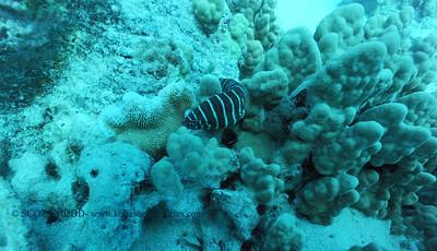 zebra moray (ゼブラウツボ)