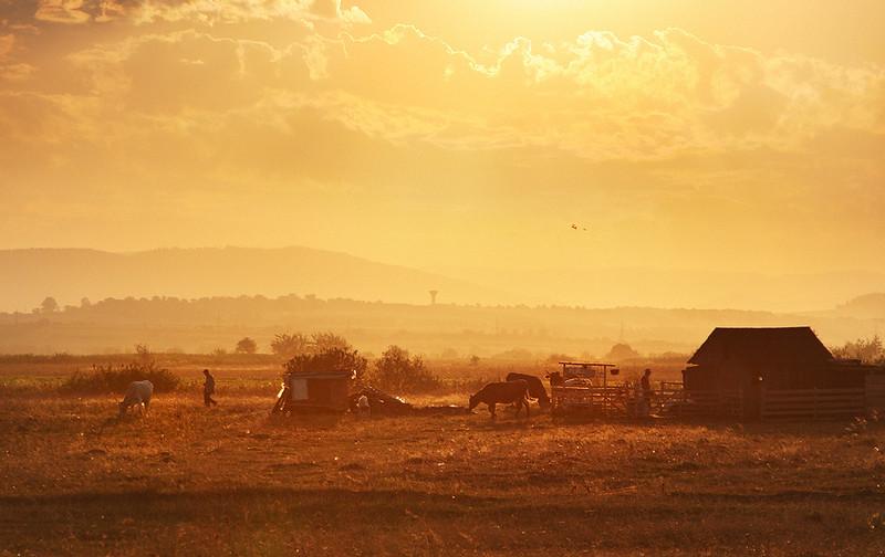 Pastoral Near Radauti