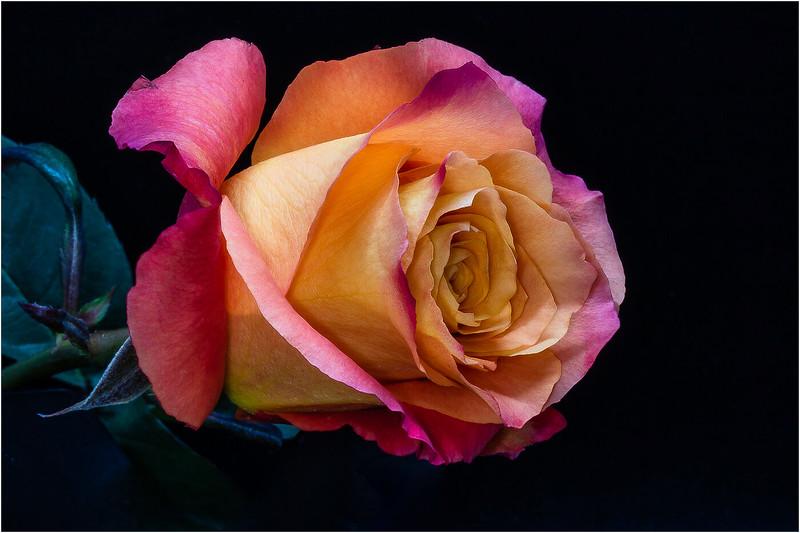 Single Rose_Pat Hoffman.jpg