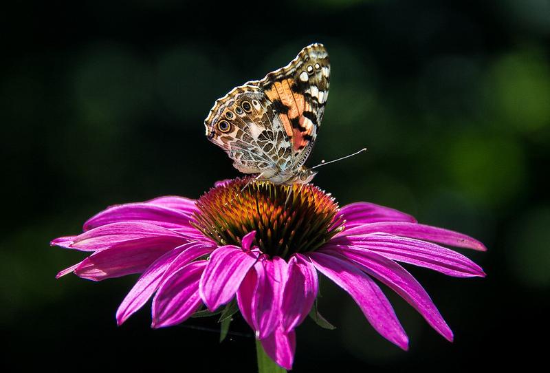 Garden Butterfly.jpg